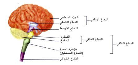 الجهاز العصبي لجسم الانسان